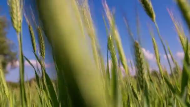Letní den, pšeničné pole