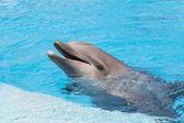 Fotografie Delfín, usmíval se ve vodě