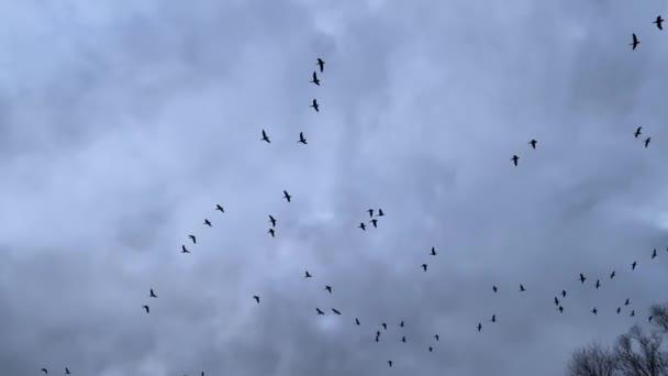 viele Graugänse fliegen im bewölkten Himmel in Zeitlupe