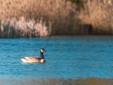 on the blue water of a lake swim a few wild geese