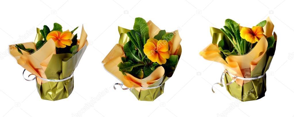 Primel Gelb Blume In Geschenkpapier Auf Weissem Hintergrund