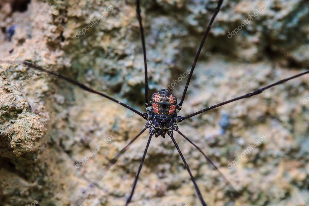 3d7db3ca16c Sekáče pavouk nebo sekáč zblízka na stromě v lese — Fotografie od ...