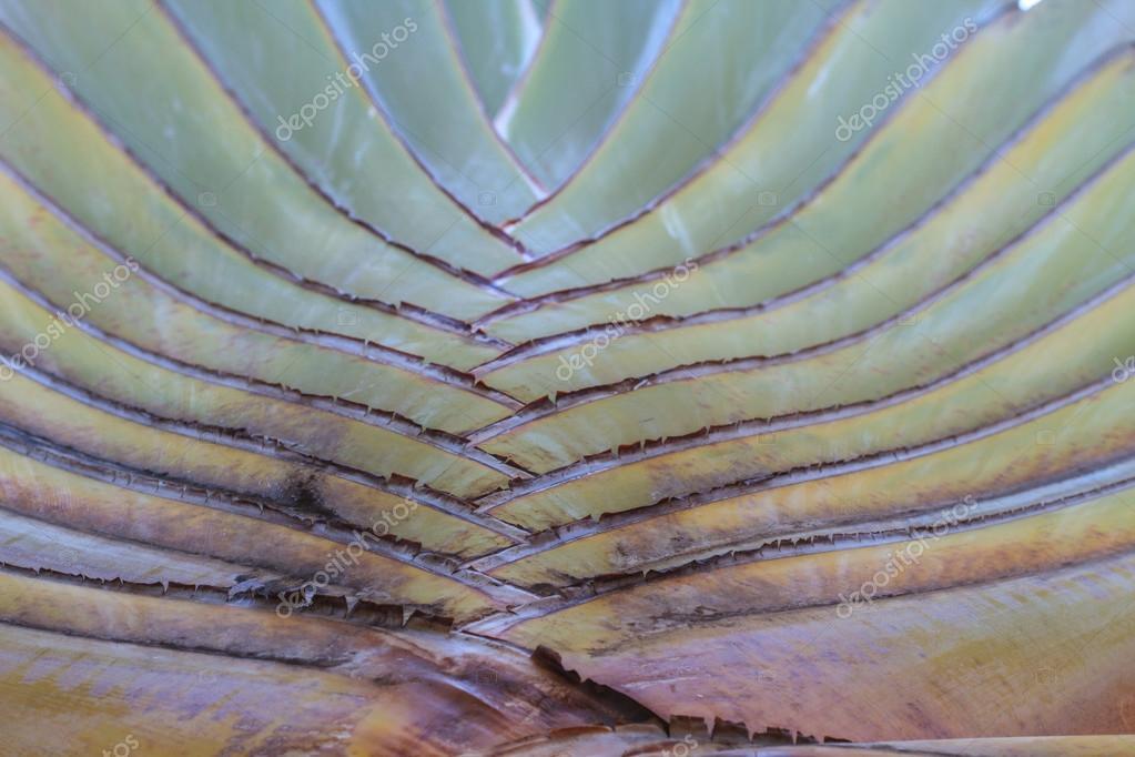 Leaf bases on a Traveler's Palm