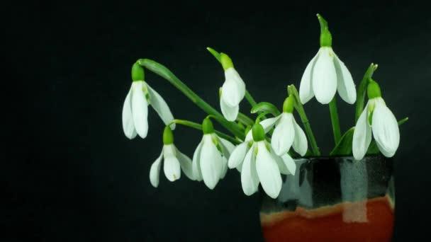 Krásné bílé květy kytice sněhové kapky nebo Galanthus ve váze close-up izolované na černém pozadí. Kvetoucí kapky rosy kvetoucích rostlin se stříkajícími vodními postřikovači. 4K