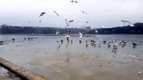 Zimní pohled na zamrzlé jezero s racky a divokými kachnami.