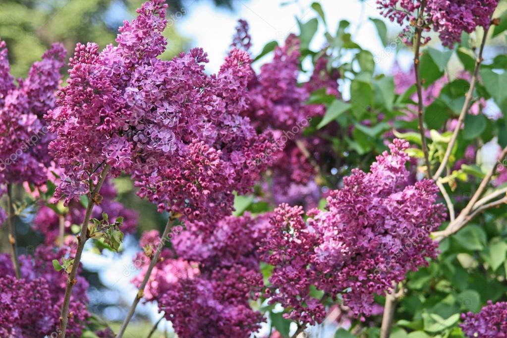 Fiori di lillà selvatici\u2013 immagine stock