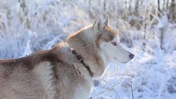 roztomilý husky pes v zimním lese