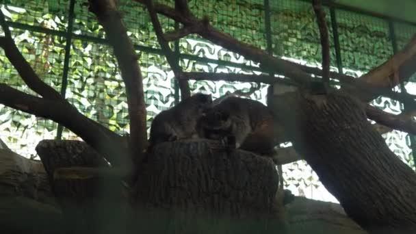 Zwei süße Waschbär-Enten liegen kuschelnd auf einem Baum in der großen Voliere. Kinder, die Tieren zuschauen, haben Spaß auf Safari. Glückliche Familien besuchen Wild- und Haustiere. Menschen gehen im Zoo Park spazieren. Naturkonzept