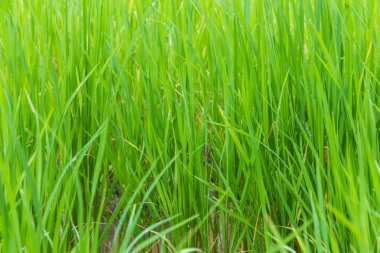 Background of green paddy rice field