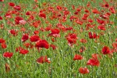 Red poppies on the meadow .