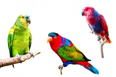 Parrots isolated on white background collection