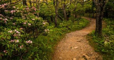 Mountain laurel along a trail in Shenandoah National Park, Virgi