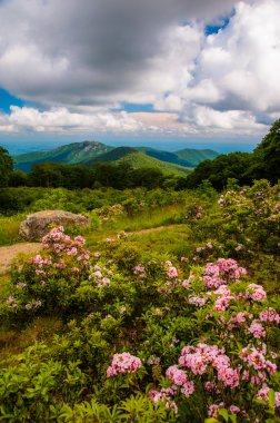 Mountain laurel in meadow and view of Old Rag from an overlook o