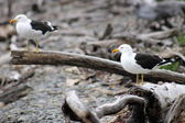 Pair of Southern black-backed gull