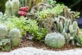 kaktusz növény