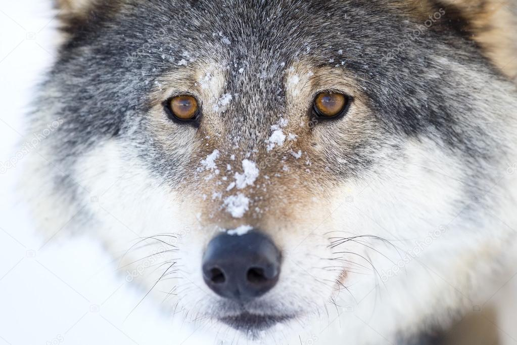 Close-up of a wolfs head in the winter