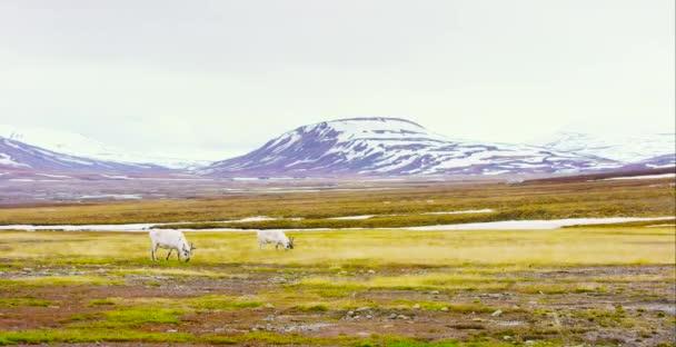 zwei Rentiere fressen Gras in der wunderschönen Landschaft Spitzbergens
