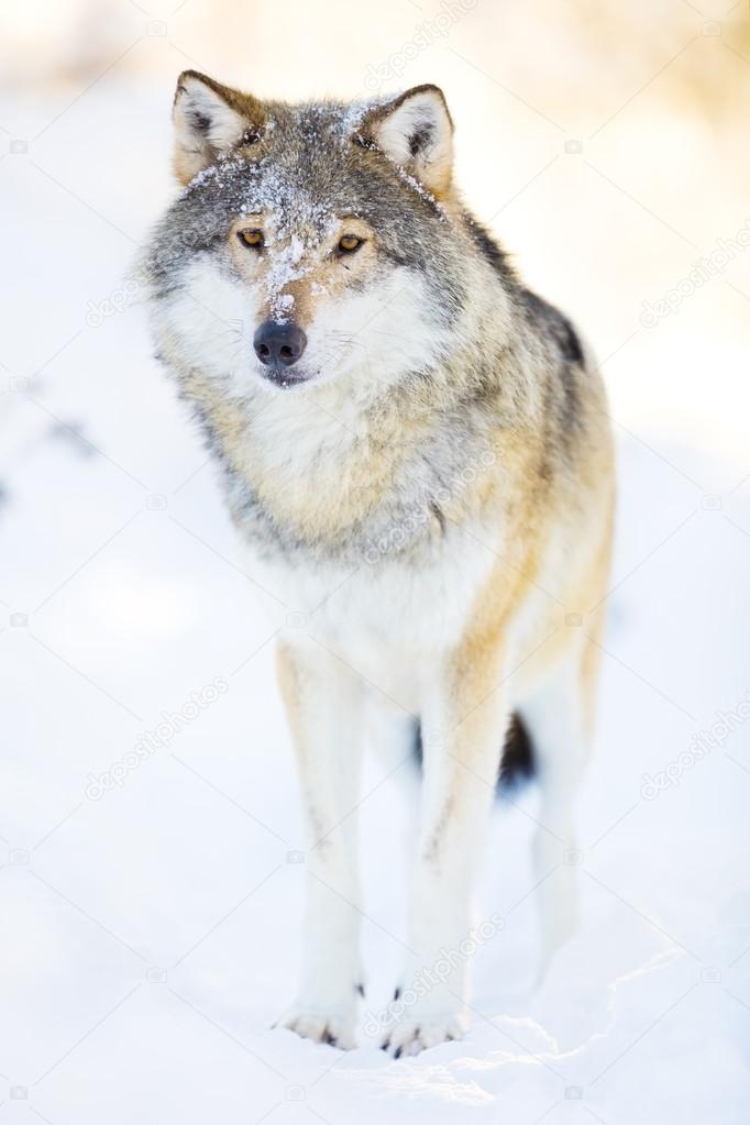 Imágenes Paisajes Hermosos Con Lobos Lobo Se Encuentra En El