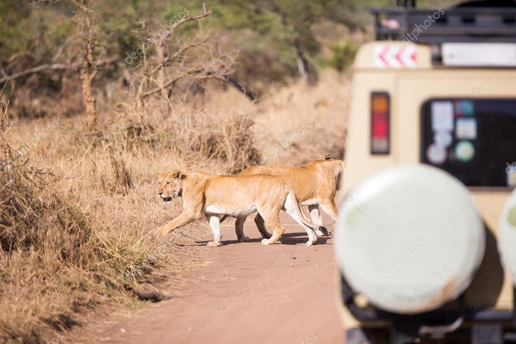 Wildlife safari tourists on game drive