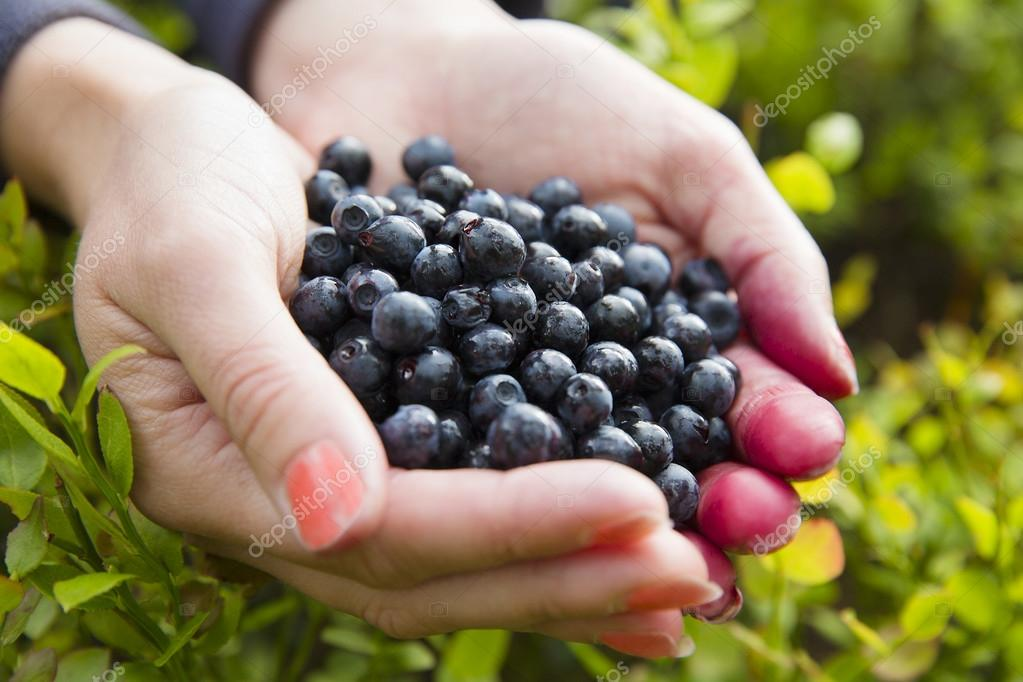 Woman picking healthy blueberries in the woods