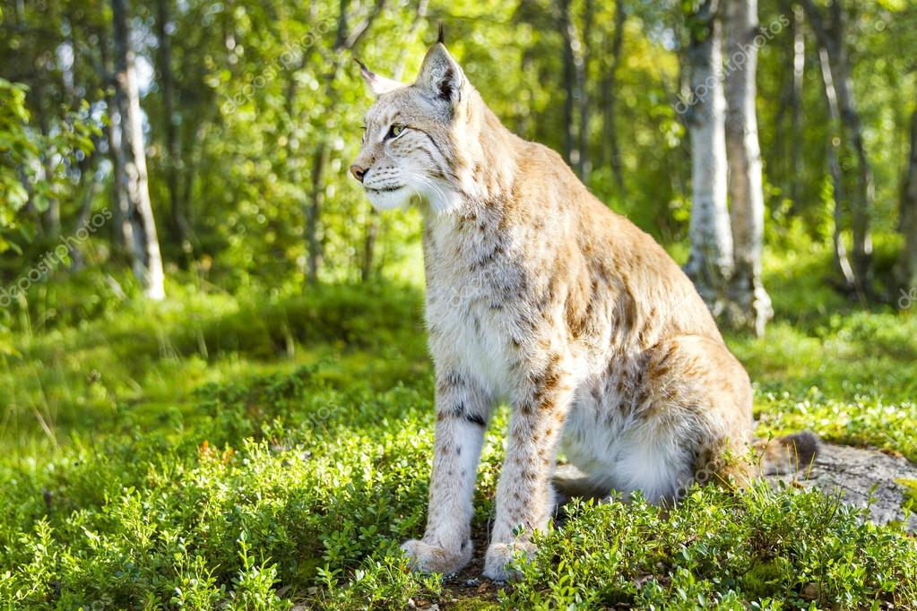 One eurasian lynx sitting in the green forest