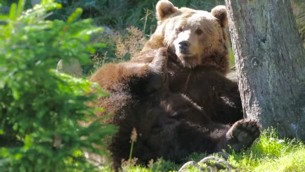 Large adult brown bear rests and scratching in the forest