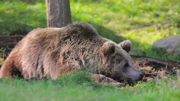 Big brown bear rests in the forest