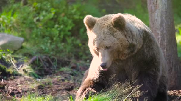 Large adult brown bear relaxing and scratching in the forest