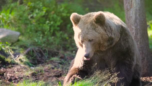 Velký dospělý medvěd hnědý uvolňující a škrábání v lese