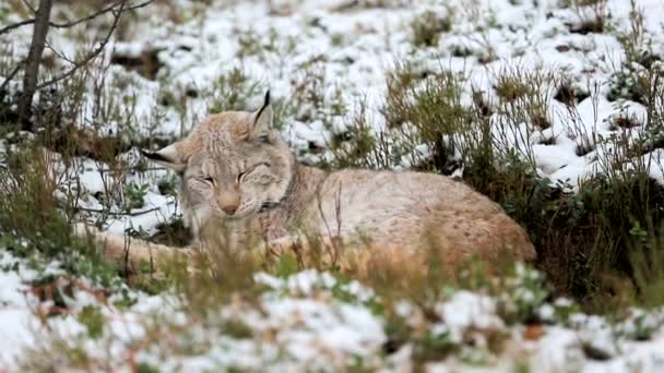 Lynx sleeps in the forest