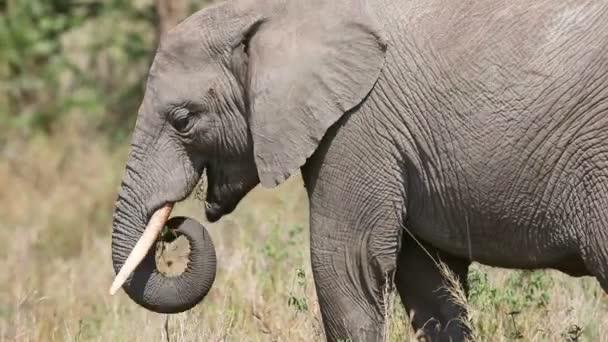 Nagy elefánt eszik fű és ágak Afrikában