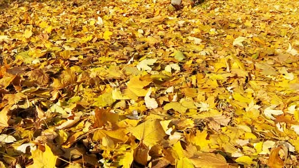 Mann geht auf den herabgefallenen gelben Blättern.