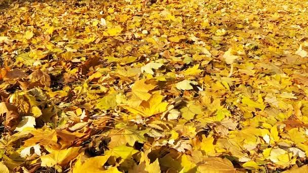 Man walking on the fallen yellow leaves.