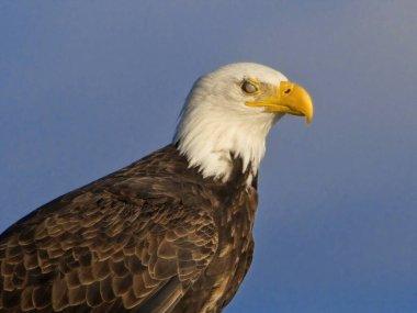 Bald eagle perched on Sidney BC coast against blue sky, half-transparent eyelid is closed