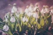 Fotografie Pastel snowdrops