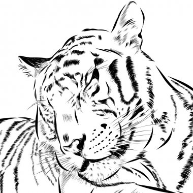 Tiger scetch hand drawn on background. Vector
