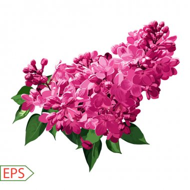 Spring izolate lilac flower for the design. Vector illustration