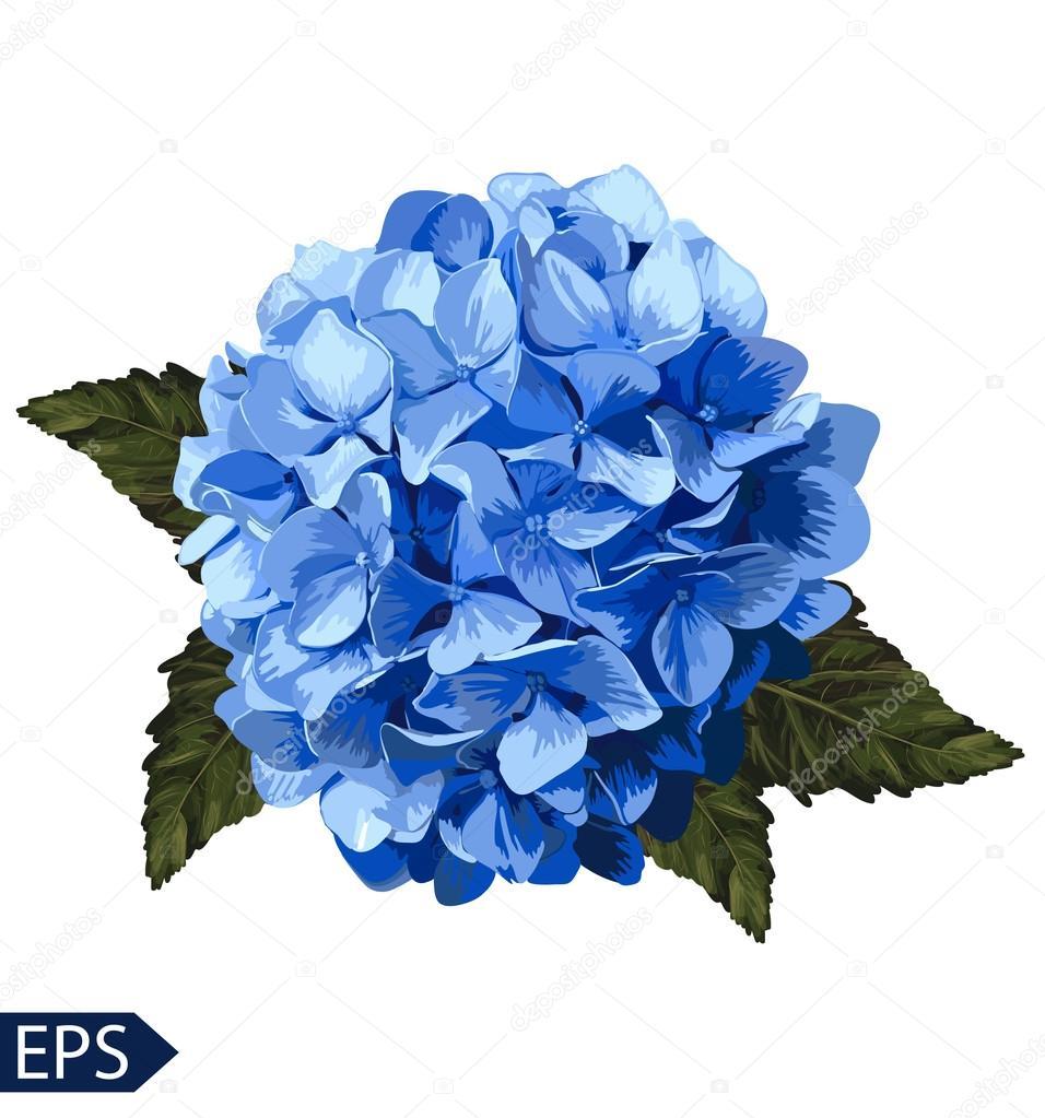 Vector blue realistic hydrangea, lavender. Illustration of flowers.