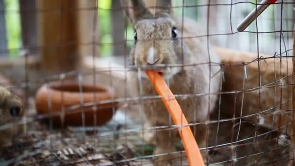 Cute rabbits in a cage eating a carrot .