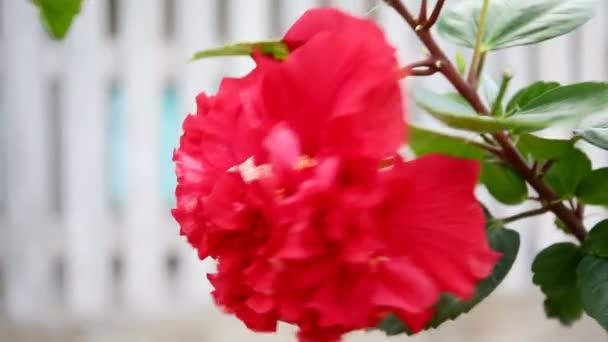 Ibišek červený květ v pánvi vítr