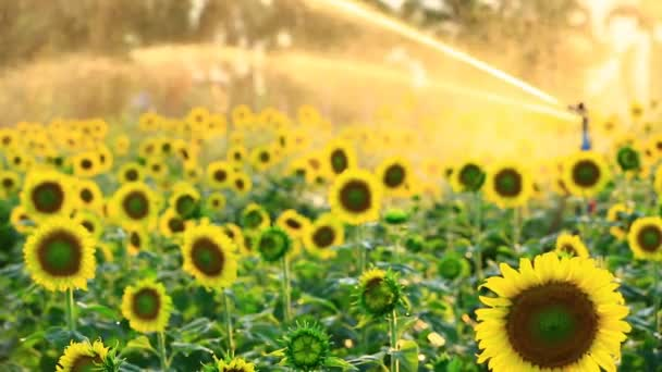Sunflower field during sprinkling water with sunset, Pan camera
