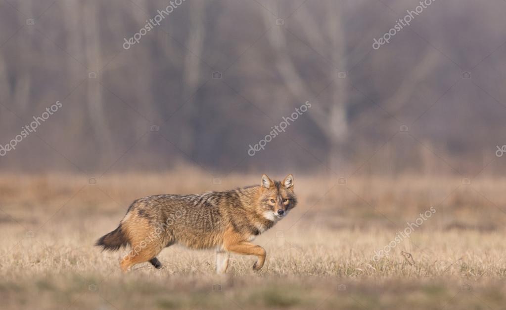 Golden jackal walking on meadow