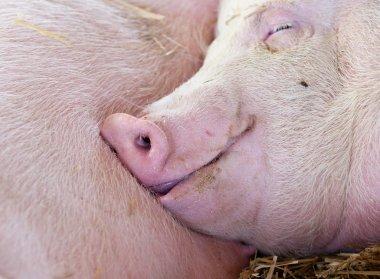 Pig sleeping in barn