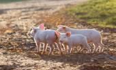 A farm gyaloglás malacok