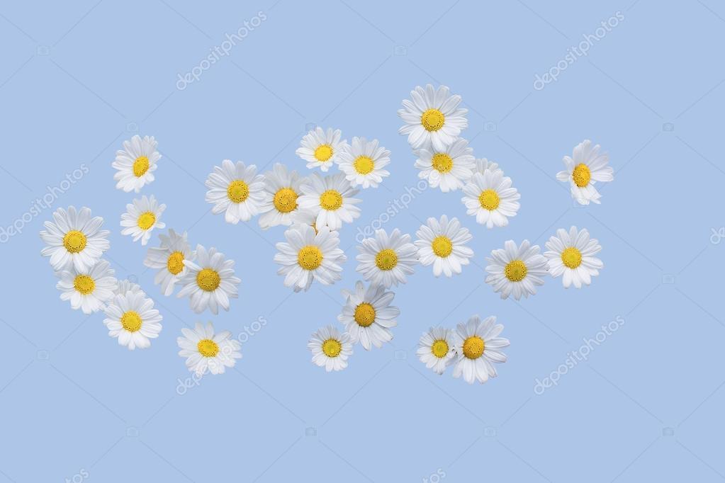 Flores de Margarita sobre azul de serenidad — Fotos de Stock ...
