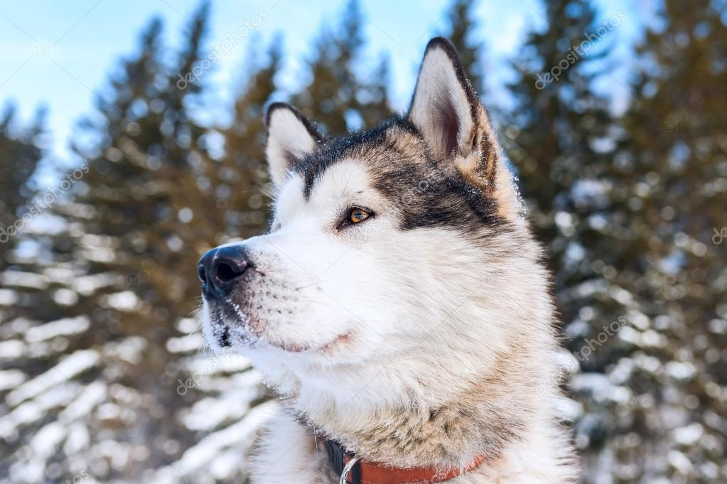 Husky dog looking into the distance. Against the background of t