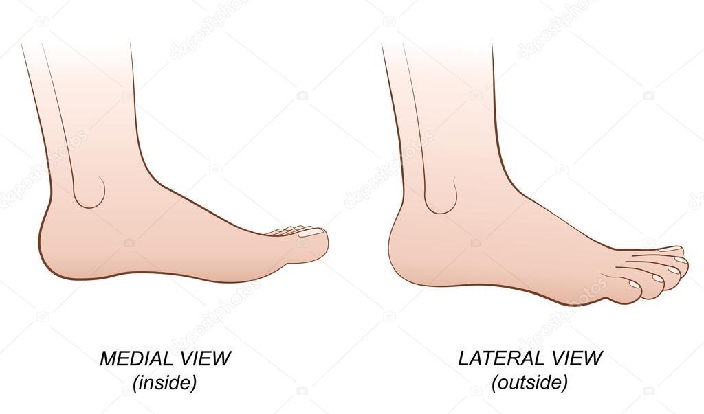 Voet laterale mediale weergave binnen buiten profiel — Stockvector ...