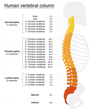Vertebral Column Names Spine