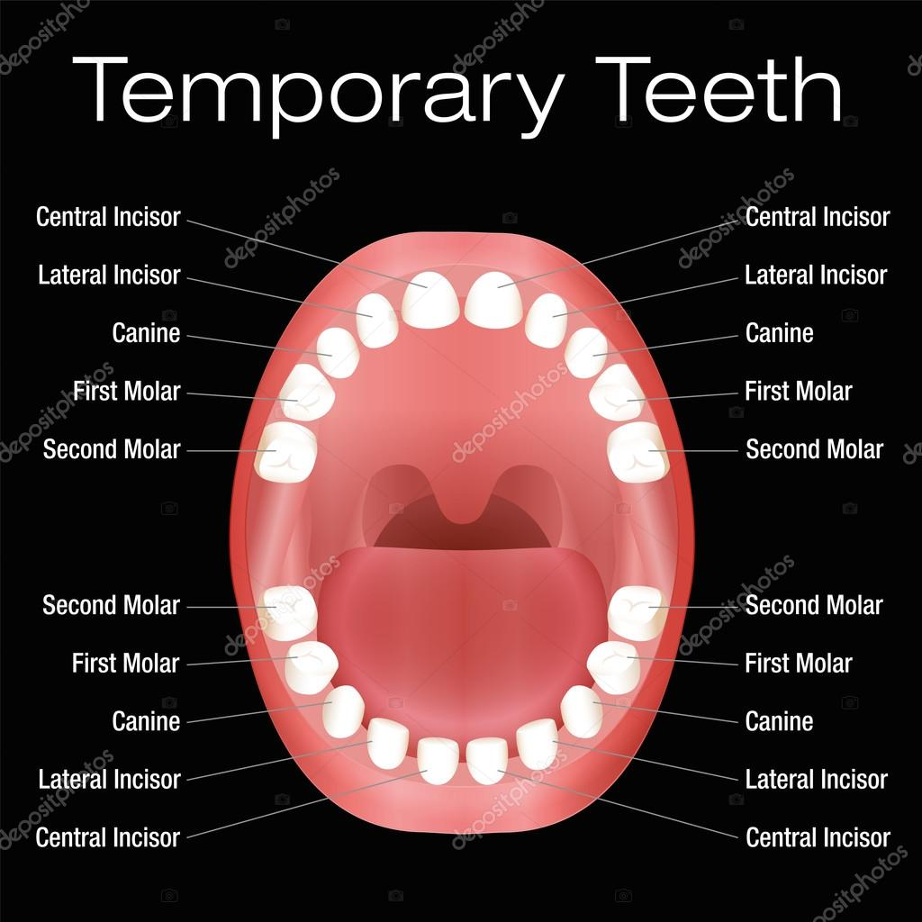 names of teeth and what they do