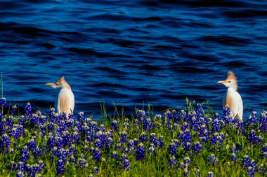 Egrets in Texas Bluebonnets at Lake Travis at Muleshoe Bend in T
